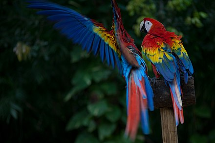 Scarlet macaws are native to Central and northern South America. Various bird sanctuaries exist in Belize, such as the Crooked Tree Wildlife Sanctuary. Scarlett Macaw.jpg