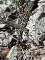 Sceloporus occidentalis 08240.JPG