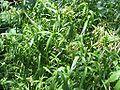Schiedea globosa - globe schiedea - stat-vulnerable - desc-whole plant.jpg