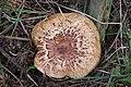 Schiermonnikoog - Gewone krulzoom (Paxillus involutus) v1.jpg
