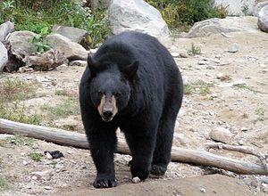 Amerikanischer Schwarzbär
