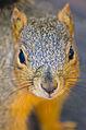 Sciurus niger 6.jpg