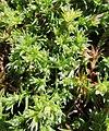 Scleranthus perennis inflorescence (29).jpg