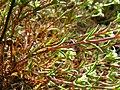 Scleranthus perennis stem (02).jpg