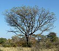 Sclerocarya birrea, habitus, Steenbokpan, d.jpg