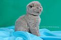 Scottish fold , straight 03.JPG