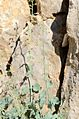 Scrophularia libanotica 1.jpg