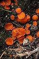 Scutellinia crucipila 79145645.jpg