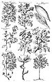 Second illustration, published in Europe, of a Cinchona tree Wellcome L0010560.jpg