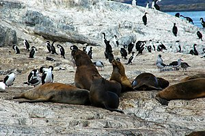South American sea lion - Sea lions at Beagle Channel