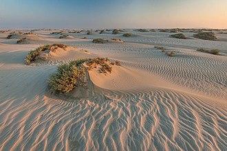 Qatari folklore - Seidlitzia rosmarinus, a common desert herb with medicinal properties growing on small sand mounds in Qatar