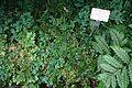 Selaginella uncinata - Botanischer Garten - Heidelberg, Germany - DSC00938.jpg