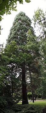 Sequoiadendron giganteum Oliwa 2