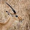 Serengeti Impala2.jpg