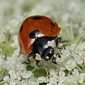 Seven-spotted Lady Beetle (Coccinella septempunctata) - Guelph, Ontario 2020-07-26.jpg