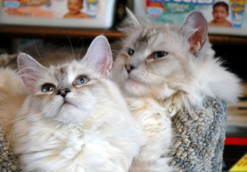 Shaded Silver Maine Coons