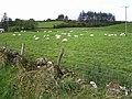 Sheep at Tamnyrankin - geograph.org.uk - 587395.jpg