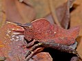 Shieldback Locust (Pamphagidae) (11775102683).jpg