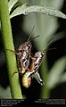 Short-horned grasshoppers (Acrididae) (29452026084).jpg