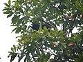 Short-tailed Paradigalla (2905493828).jpg
