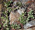Sierra bilberry Vaccinium caespitosum.jpg