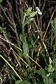 Silene latifolia 9646.JPG