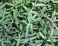 Silene vulgaris ssp. maritima 2016-07-19 3216.jpg