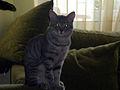 Silver tabby cats E2.jpg