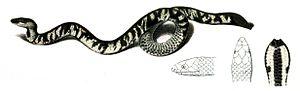 Uropeltidae - Ceylon earth snake, Uropeltis ceylanica
