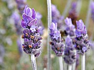 Single lavender flower02.jpg