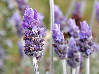 Lavender (color) Color