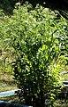 Sium latifolium Prague 2012 1.jpg