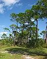 Slash Pines.jpg