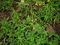Smithia conferta Sm. (6213884870).jpg