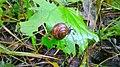 Snail eating Etana syömässä 01.jpg