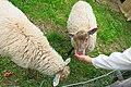 Sodankylä museum sheep.jpg