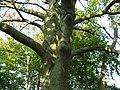 Sorbus intermedia2.jpg