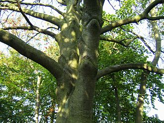 Sorbus × intermedia - Trunk, showing the stout, nearly horizontal branches