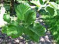 Sorbus latifolia a1.jpg