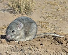 Southern Plains Wood rat.jpg