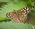 Speckled Wood. Pararge aegeria (43689705162).jpg
