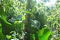 Spice plantation, Goa.jpg