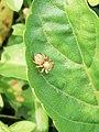 Spider in Attidiya Wetland.jpg