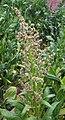 Spinacia oleracea flower.JPG