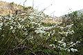 Spiraea prunifolia var. simpliciflora 2014년 4월 9일 (13768061745).jpg