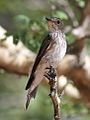 Spotted flycatcher, Muscicapa striata, at Marakele National Park, Limpopo, South Africa (15696892954).jpg