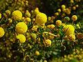 Sprays of wattle flower.jpg