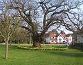 Spreading old oak tree - geograph.org.uk - 1233701.jpg
