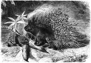 Crested porcupine - North African crested porcupine (H. cristata) drawn by Gustav Mützel