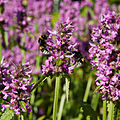 Stachys officinalis-IMG 8543.jpg